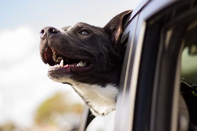 A happy dog sticks its head out the window. Image by Andrew Pons.