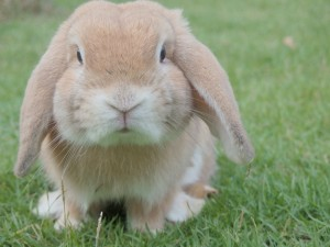 A little lop bunny