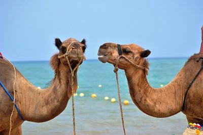 Random Camels - Image by Kawtar Cherkaoui