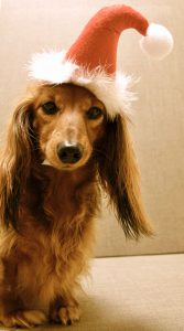 Long-haired daschund in a santa hat